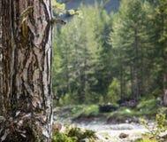 Tronco de árbol con el musgo del detalle de la corteza en la parte inferior Bosque borroso, fondo de la naturaleza Copyspace, cie Fotografía de archivo