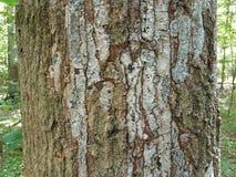 Tronco de árbol con la corteza que se cae  Fotos de archivo libres de regalías