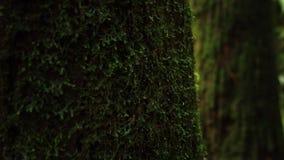 Tronco de ?rbol cubierto con el musgo mojado verde Edad y humedad en bosque del ?rea esc?nica de Alishan en Taiw?n almacen de metraje de vídeo