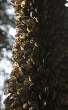 Tronco de árbol cubierto con las mariposas de monarca Fotos de archivo libres de regalías