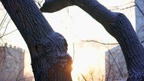 Tronco de árbol cubierto en nieve El sol de la mañana brilla a través de ramas de árbol almacen de video