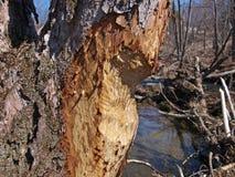 Tronco de árbol dañado por el castor imagenes de archivo