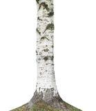Tronco de árbol de abedul Imagenes de archivo