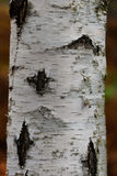 Tronco de árbol de abedul Imagen de archivo libre de regalías