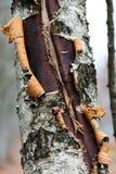 Tronco de árbol de abedul Fotos de archivo libres de regalías