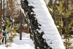 Tronco de árbol de abedul del invierno Imagenes de archivo