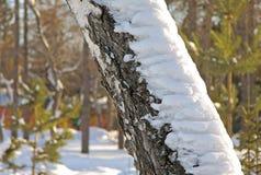Tronco de árbol de abedul del invierno Imágenes de archivo libres de regalías