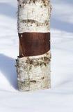 Tronco de árbol de abedul en la nieve. Fotografía de archivo libre de regalías