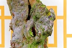 Tronco de árbol de los bonsais del chinense del loropetalum Imagenes de archivo