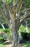 Tronco de árbol de Melaleuca en el bosque de Laguna, California fotos de archivo
