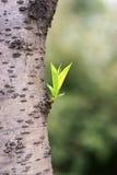 Tronco de árbol de melocotón con la nueva hoja Imagenes de archivo