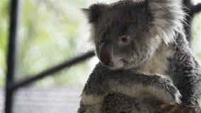 Tronco de árbol del abarcamiento del oso de koala Imagenes de archivo