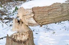 Tronco de árbol del invierno Nevado caido por el castor Imagen de archivo