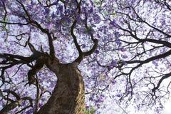 Tronco de árbol del Jacaranda con las pequeños flores y cielo Foto de archivo libre de regalías