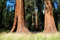 Tronco de árbol enorme de los árboles de la secoya Imagen de archivo