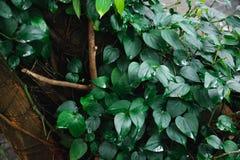 Tronco de árbol entrelazado con la hiedra Follaje verde en fondo fotos de archivo libres de regalías