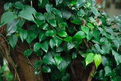 Tronco de árbol entrelazado con la hiedra Follaje verde en fondo imágenes de archivo libres de regalías