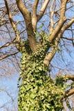 Tronco de árbol entrelazado con la hiedra verde rizada contra un cielo azul de la primavera La hiedra común es una planta imperec foto de archivo libre de regalías