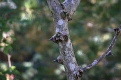Tronco de árbol espinoso del americanum del Zanthoxylum, ceniza espinosa Primer en sunligh natural imagenes de archivo