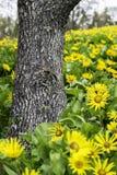 Tronco de árbol flanqueado por los girasoles Foto de archivo libre de regalías