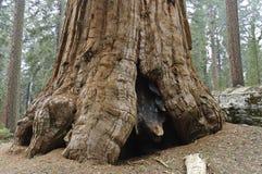 Tronco de árbol grande Roberto E. Lee Imagen de archivo