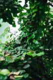 Tronco de árbol de Gteen entrelazado con la hiedra Fondo imagenes de archivo