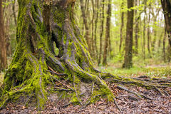 Tronco de árbol hermoso de roble Imagen de archivo