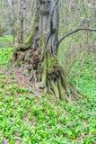 Tronco de árbol inusual viejo en bosque en la primavera temprana, atmósfera mágica Fotografía de archivo