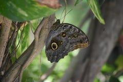 Tronco de árbol liso con una mariposa azul de Morpho con las alas cerradas Fotografía de archivo libre de regalías
