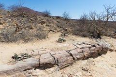 Tronco de árbol petrificado y mineralizado en Forest National Park aterrorizado famoso en Khorixas, Namibia, África 280 millones  foto de archivo libre de regalías