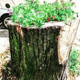 Tronco de árbol plantado Foto de archivo