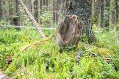 Tronco de árbol quebrado en el bosque profundo de la montaña Foto de archivo