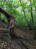 Tronco de árbol quebrado en los bosques de Loket imagen de archivo