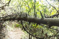 Tronco de árbol sólido espinoso en Suráfrica fotos de archivo