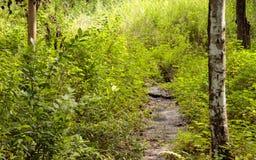 Tronco de árbol seco de abedul de la corriente del arroyo Foto de archivo