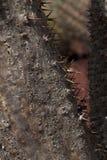 Tronco de árbol de un lamerei de Pachypodium con textura y puntos ásperos imagen de archivo