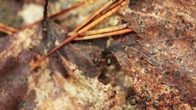 Tronco de árbol viejo caido A rojo de Forest Ants Formica Rufa On Hormigas que se mueven en hormiguero almacen de metraje de vídeo