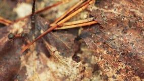 Tronco de árbol viejo caido A rojo de Forest Ants Formica Rufa On Hormigas que se mueven en hormiguero almacen de video