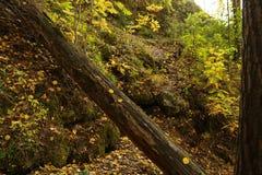 Tronco de árbol viejo cubierto con el musgo en el bosque Foto de archivo libre de regalías