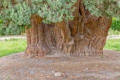 Tronco de árbol viejo de cedro Imagen de archivo libre de regalías