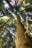 Tronco de árbol, vista a la corona del árbol Foto de archivo