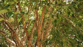 Tronco de árbol y hojas verdes en un día soleado en verano, cámara que se levanta Árbol de Pitangueira almacen de metraje de vídeo