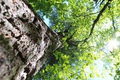 Tronco de árbol y tops del árbol Imagen de archivo libre de regalías