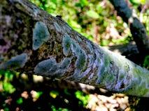 Tronco de árboles con el hongo Fotos de archivo