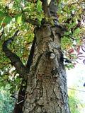 Tronco de árvore Imagens de Stock