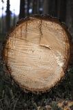 Tronco de árvore abatido em uma floresta Fotografia de Stock