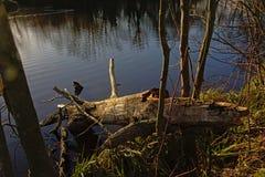 Tronco de árvore caído no lado de uma lagoa Fotografia de Stock