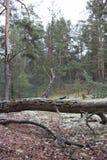Tronco de árvore caído velho pitoresco na floresta do pinho de Volyn Sobras das trincheiras da Primeira Guerra Mundial hoje em di Imagens de Stock Royalty Free
