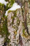 Tronco de árvore capturado no inverno Imagens de Stock Royalty Free