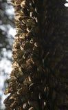 Tronco de árvore coberto com as borboletas de monarca Fotos de Stock Royalty Free